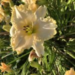 Creamy Day Lily