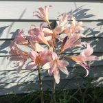 Resurrection Lilies aka Naked Ladies